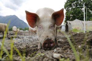 pig in stye